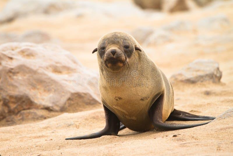 Bebê do lobo-marinho foto de stock royalty free