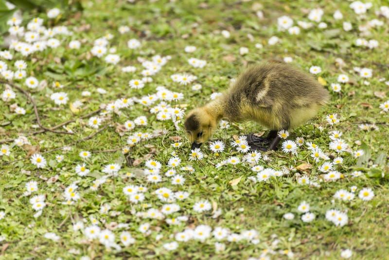 Bebê Gosling que bica para o alimento na terra entre um mar das margaridas fotografia de stock