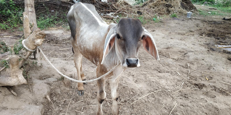 Bebê indiano da vaca imagens de stock