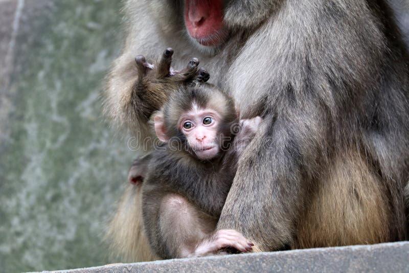 Bebê japonês do macaco imagem de stock royalty free