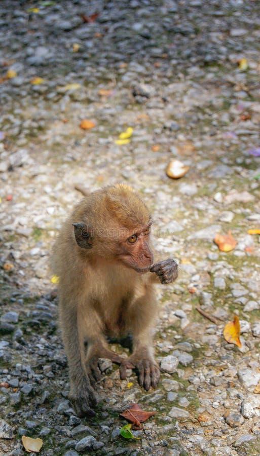 Bebê-macaco pequeno na floresta do macaco de Ubud, Bali, Indonésia foto de stock