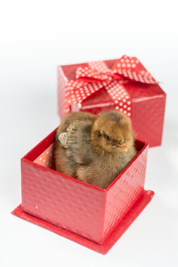 Bebê marrom pequeno da galinha na caixa vermelha com a curva isolada sobre o fundo branco imagens de stock