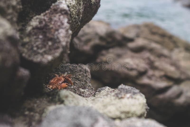 Bebê minúsculo do caranguejo sob rochas na praia fotos de stock royalty free