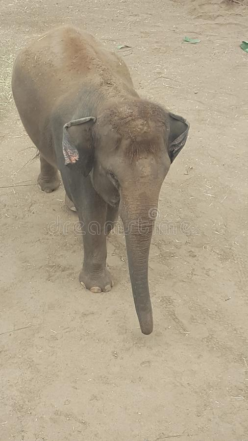 Bebê no jardim zoológico do parque de Toronga, Mosman do elefante, NSW, Austrália imagens de stock royalty free