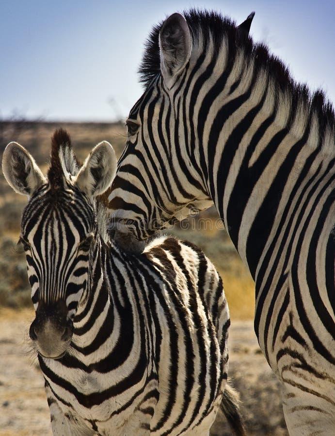 Bebê nuzzling da zebra imagem de stock