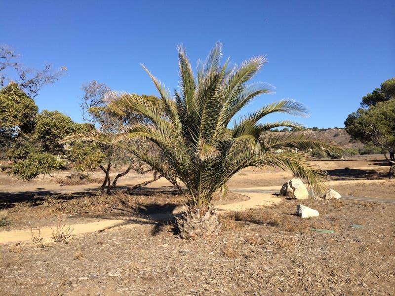 Bebê Palmtree fotos de stock royalty free