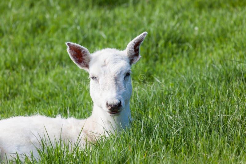 Bebê Seneca Deer imagens de stock