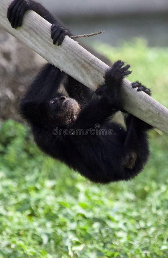 Bebê Siamang Gibbon foto de stock