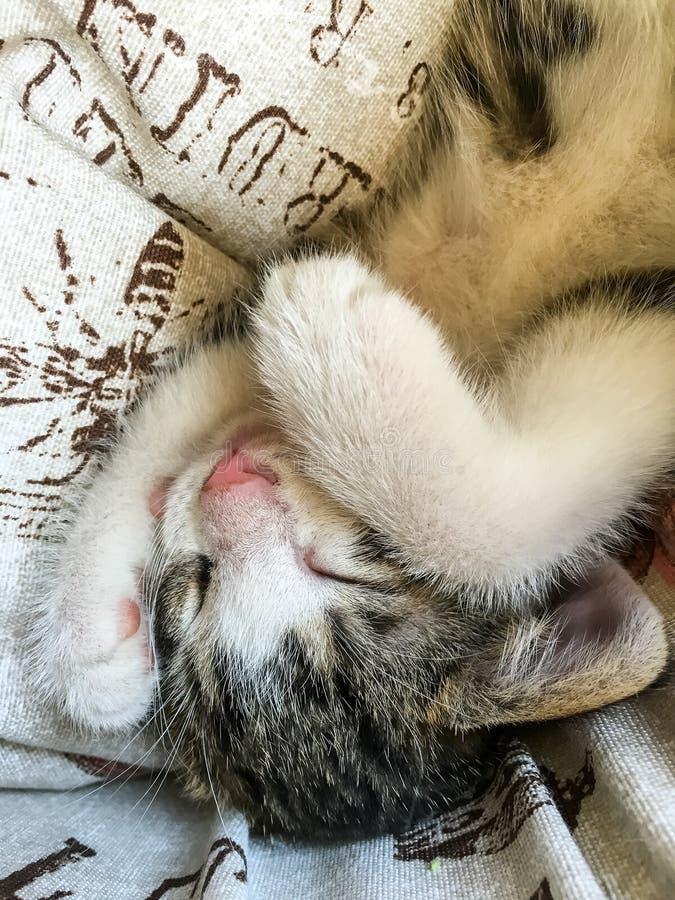 Bebê Tabby Cat Sleeping imagens de stock