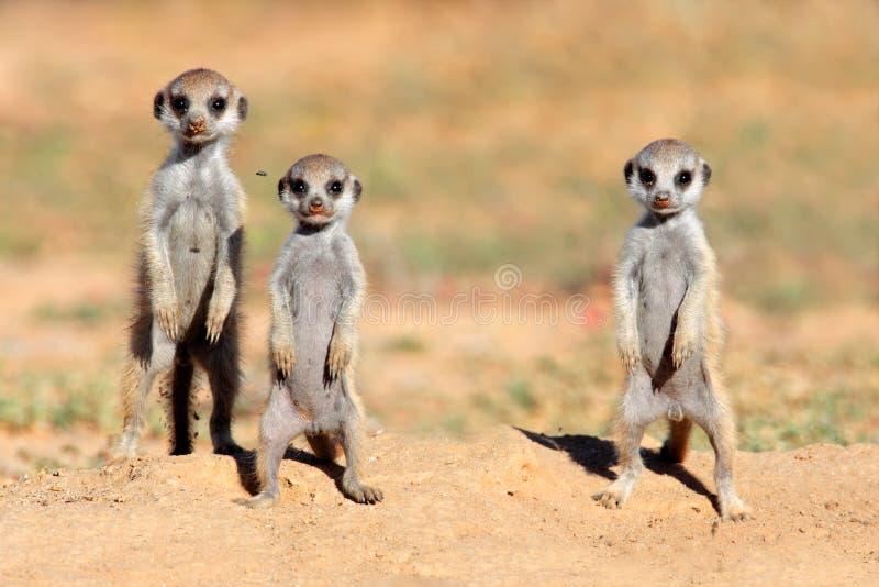 Bebês de Meerkat imagem de stock royalty free