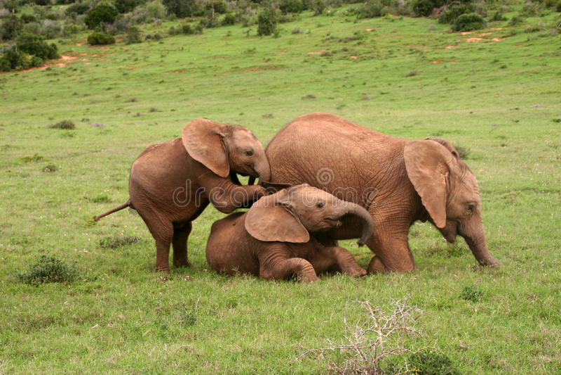 Bebês do elefante fotografia de stock