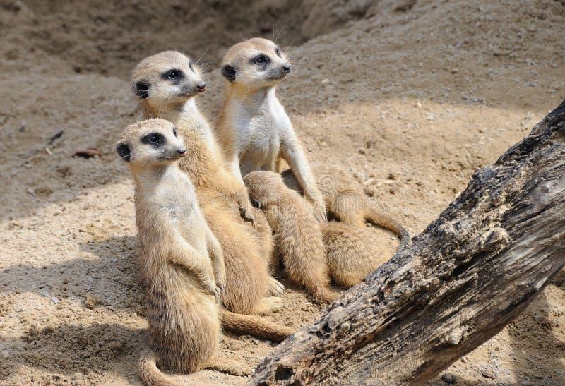 Bebês dos cuidados da família de Meerkat imagem de stock