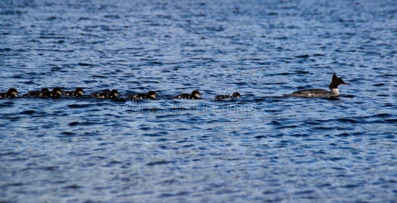 Bebês nadadores do pato da família do pato imagem de stock