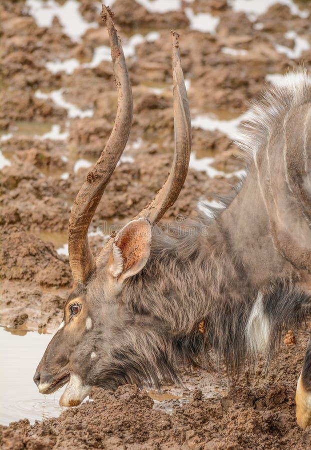 Beber de Bull do Nyala fotos de stock royalty free