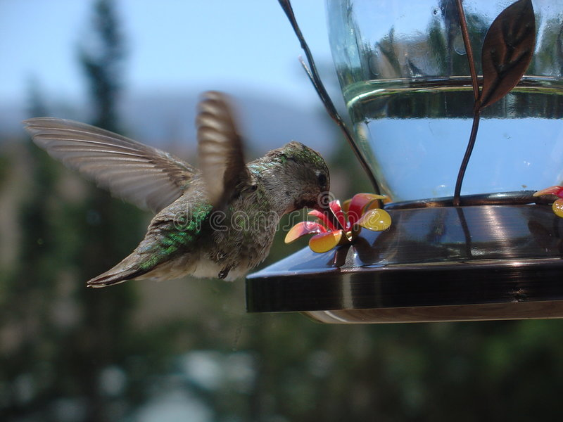 Beber do colibri foto de stock royalty free