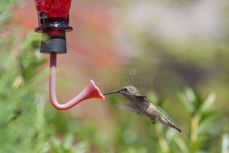 Beber do colibri fotos de stock royalty free