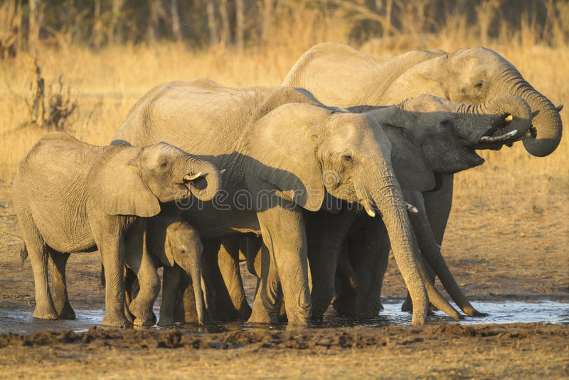 Beber do rebanho do elefante africano imagem de stock