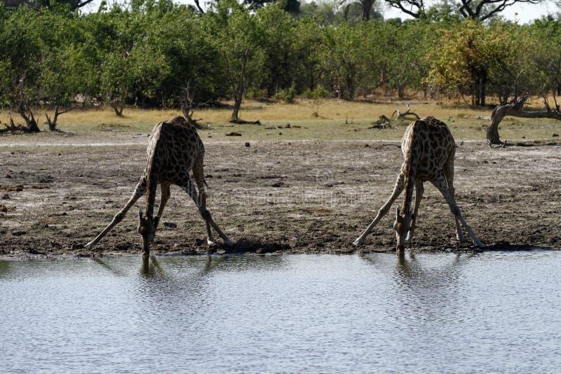 Beber dos girafas imagem de stock