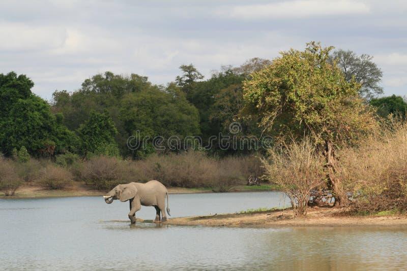 Bebida de la tarde - elefante tanzano foto de archivo