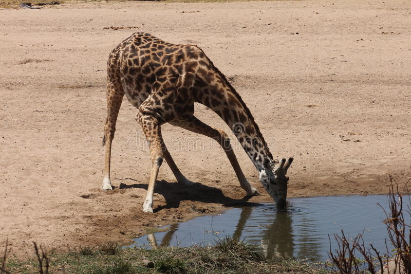 Bebidas de la jirafa en una cama de río seca imagen de archivo libre de regalías