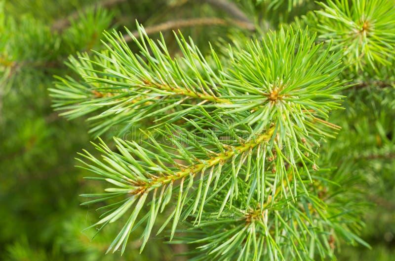 bebossing De jonge sparren en pijnboomhernieuwde groei groeide op perceel met zandige grond Kleine bomen in de zomer Het gras van royalty-vrije stock foto's
