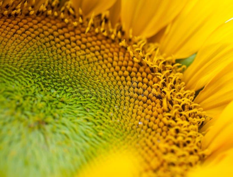 Bebouwde foto van zonnebloem stock fotografie