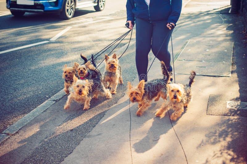 Bebouwde Vrouw die yorkie, de honden van Yorkshire Terrier op de stadsstraat lopen Honden in beweging DEELTIJDBAAN Selectieve nad stock foto