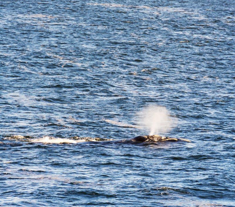 Bec d'eau du sud de baleine droite photos stock