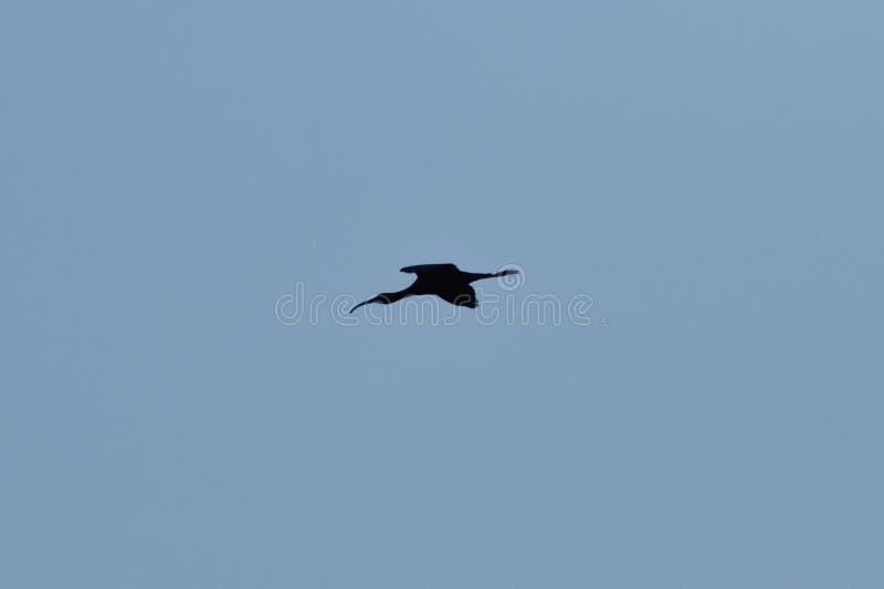 Beccaccino dell'uccello fotografia stock libera da diritti