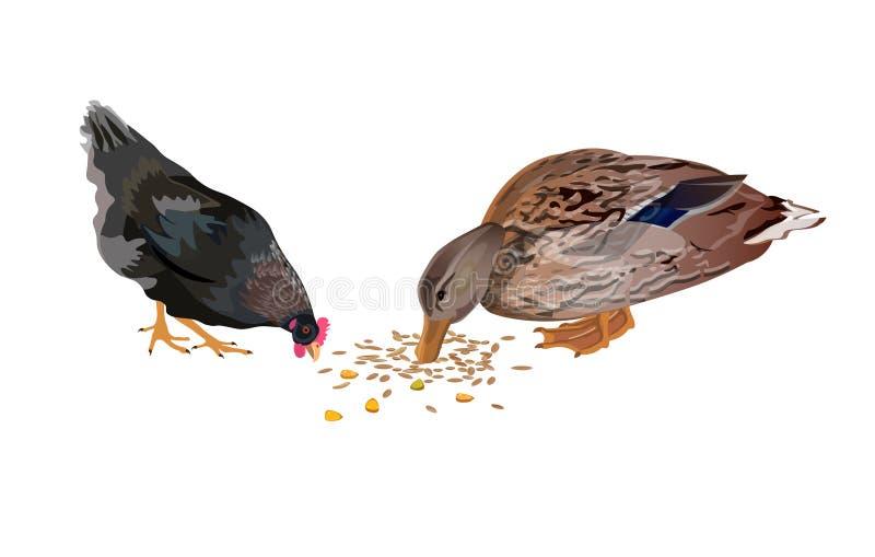 Beccata del pollo e dell'anatra royalty illustrazione gratis