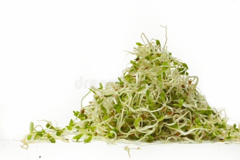 Becco dell'alfalfa isolato su fondo bianco immagine stock