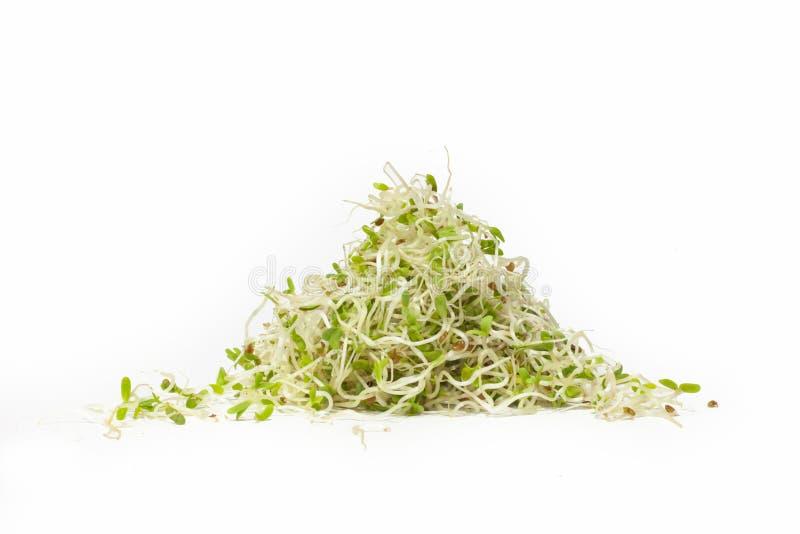 Becco dell'alfalfa isolato su fondo bianco immagini stock
