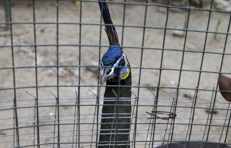 Becco e fronte del pavone dietro la gabbia fotografie stock