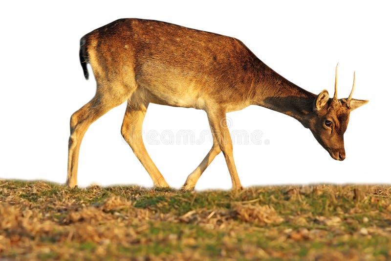 Becerro aislado de los ciervos en barbecho que pasta foto de archivo libre de regalías