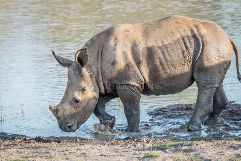 Becerro blanco del rinoceronte del bebé que juega en el agua fotografía de archivo libre de regalías