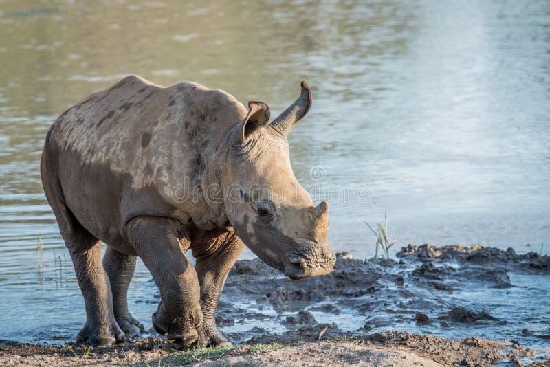 Becerro blanco del rinoceronte del bebé que juega en el agua imagenes de archivo