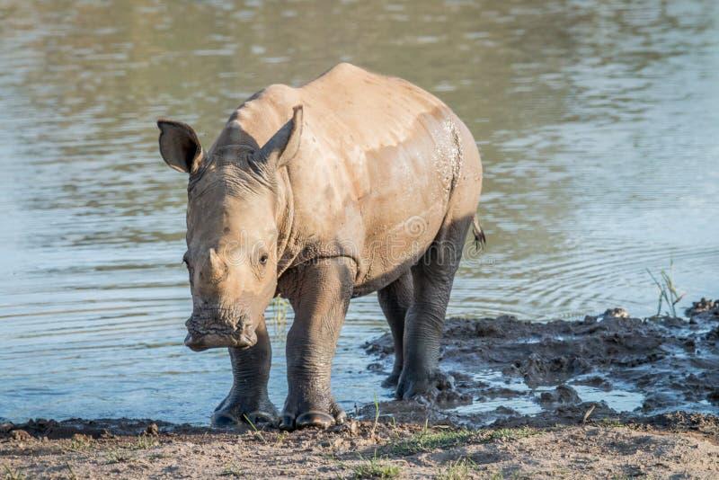 Becerro blanco del rinoceronte del bebé que juega en el agua foto de archivo