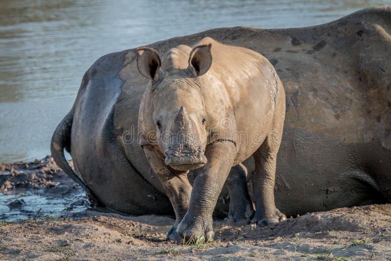 Becerro blanco del rinoceronte del bebé que protagoniza en la cámara imagen de archivo