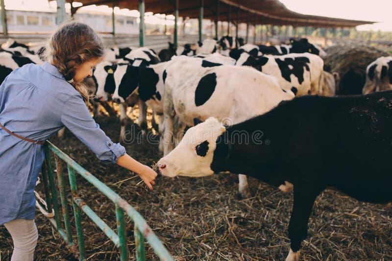 Becerro de alimentación de la muchacha del niño en granja de la vaca Campo, vida rural fotografía de archivo libre de regalías
