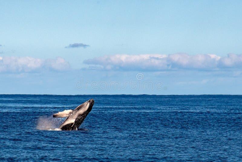 Becerro de la ballena de Humback que viola en Polinesia fotografía de archivo