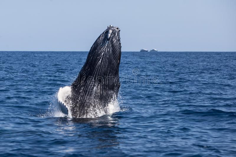 Becerro de la ballena jorobada que viola fuera del océano imagen de archivo