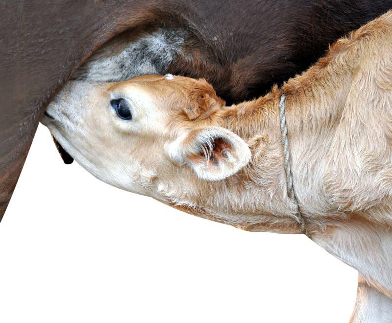 Becerro de la vaca fotografía de archivo libre de regalías
