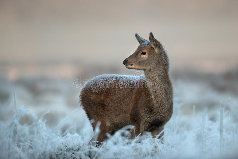 Becerro de los ciervos comunes en invierno imágenes de archivo libres de regalías