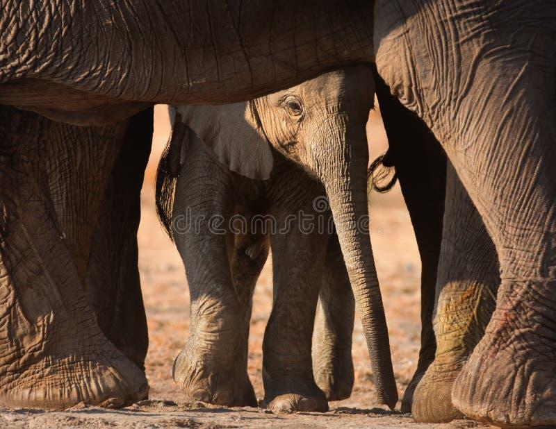 Becerro del elefante imágenes de archivo libres de regalías
