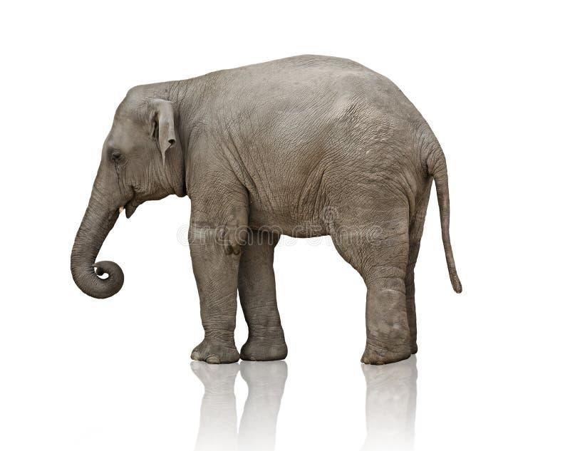 Becerro del elefante foto de archivo