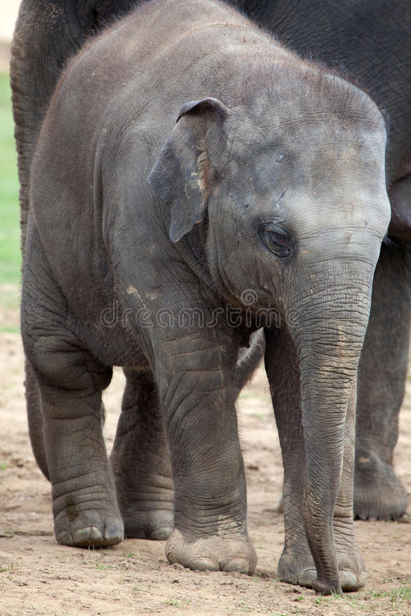 Becerro del elefante asiático foto de archivo