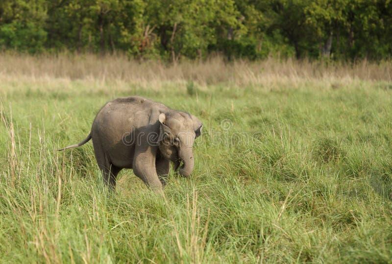 Becerro del elefante asiático foto de archivo libre de regalías