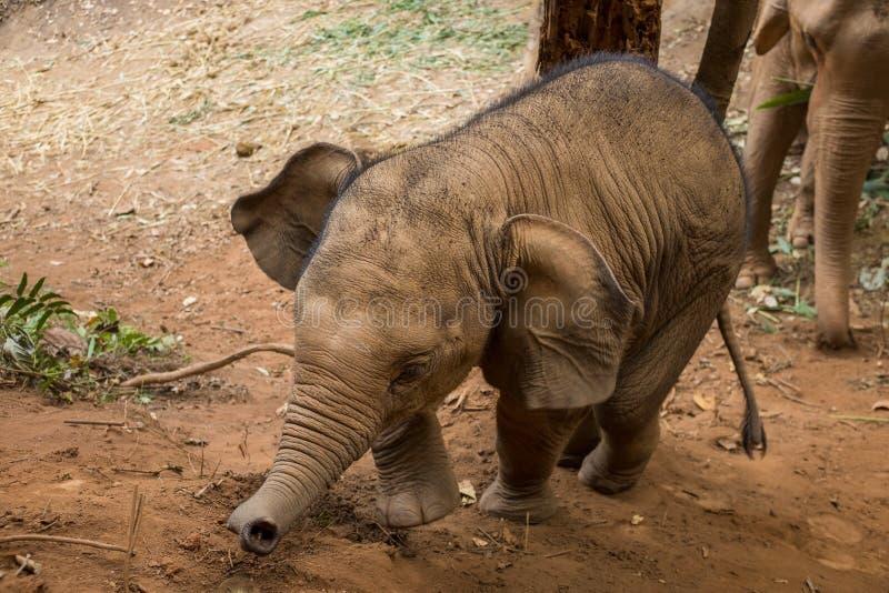 Becerro del elefante asiático del bebé imagenes de archivo