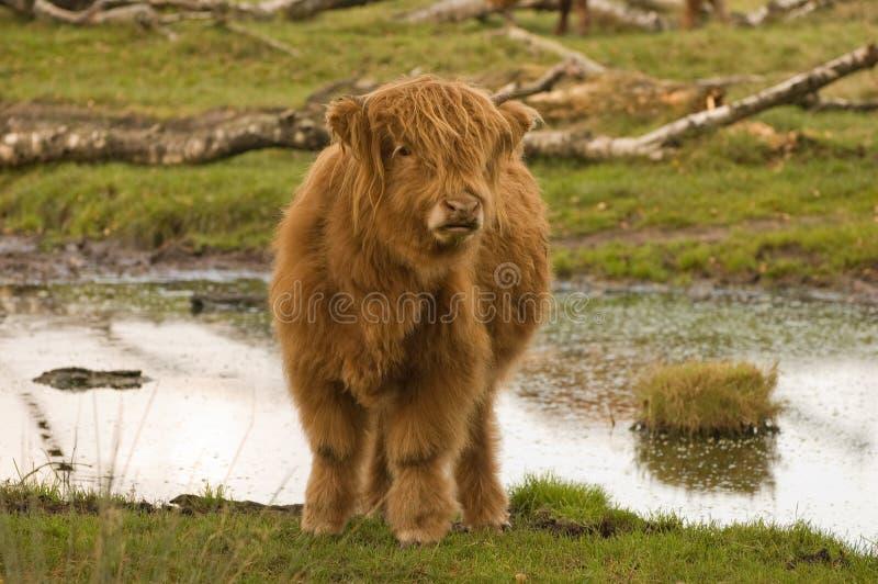 Becerro del ganado de la montaña en Imbosch NL imagen de archivo