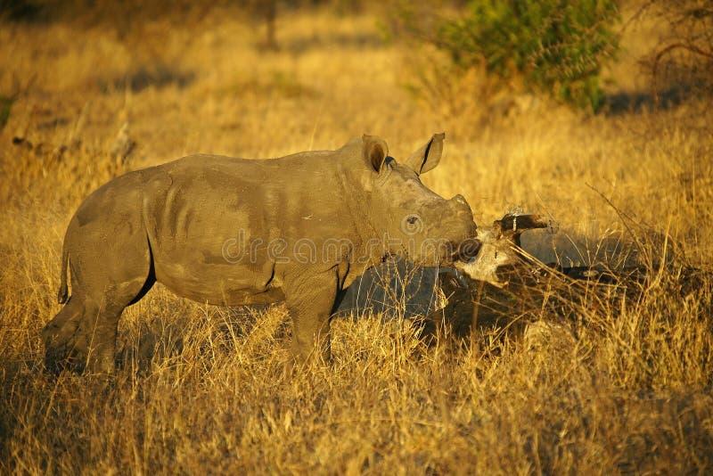Becerro del rinoceronte y amigo del lagarto en los posts del frotamiento foto de archivo libre de regalías